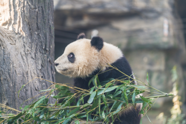 A Giant Panda 'Fathered' For 30 Years By Chinese Man
